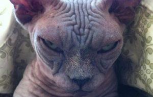 10 biểu cảm của loài mèo khiến bạn tin rằng chúng đang âm mưu thống trị thế giới