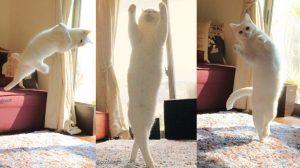 Điệu nhảy quyến rũ của mèo trắng khiến dân tình mê mẩn
