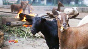Công viên Thủ Lệ ở Hà Nội đốt lửa, lắp máy sưởi chống rét cho thú nuôi