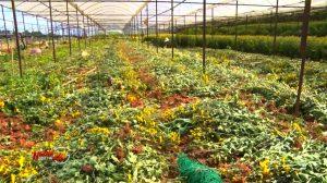 Đà Lạt: Giá hoa cúc chạm đáy, nông dân phải nhổ bỏ hàng loạt