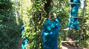 Hàng trăm cán bộ, công chức ở Bà Rịa – Vũng Tàu tình nguyện hái tiêu giúp nông dân