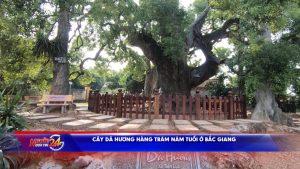 Cây dã hương hàng trăm năm tuổi ở Bắc Giang
